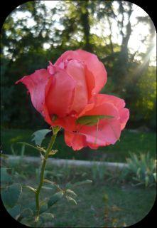 http://les-trouvailles-d-anaya.cowblog.fr/images/Dossier1/roseetbete.jpg